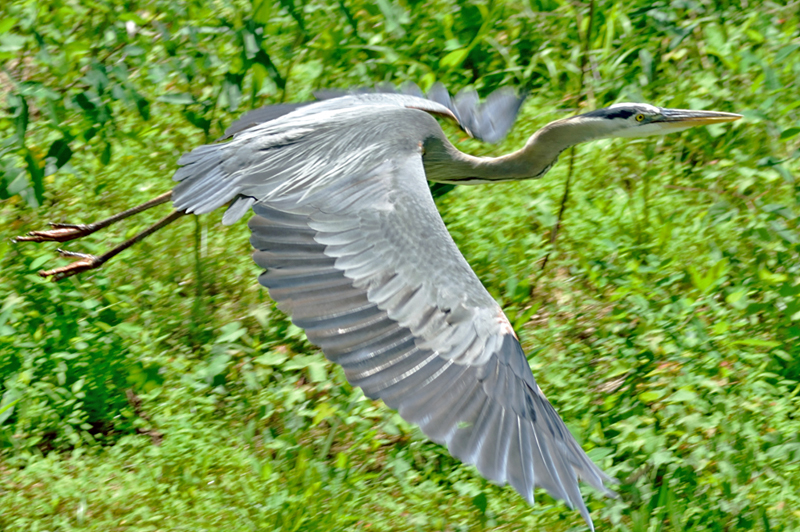 A lucky picture of Mr. Heron flying across the storm run-off ponds on Sligo Creek Trail down stream from the shopping center