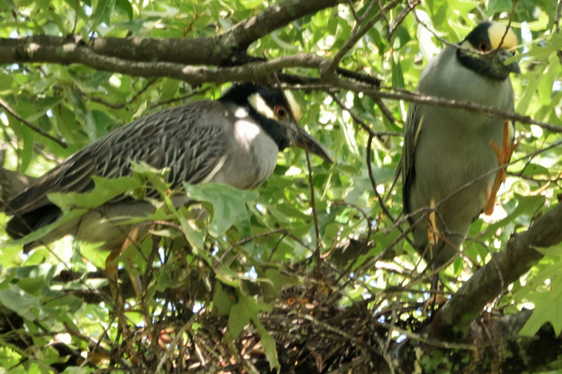 Mr. and Mrs. Yellow-Crowned Night Heron on the nest.