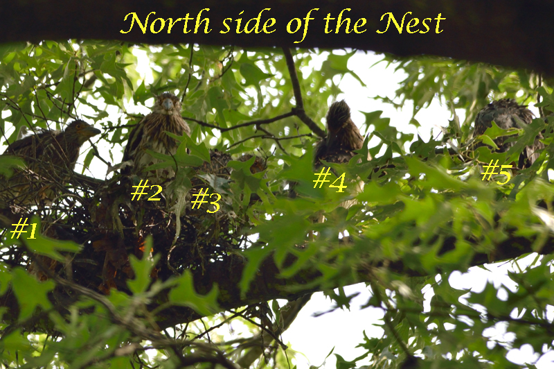 The latest trip to the nest on 6/13 showed a total of not 1, not 2, but 5 nestlings!