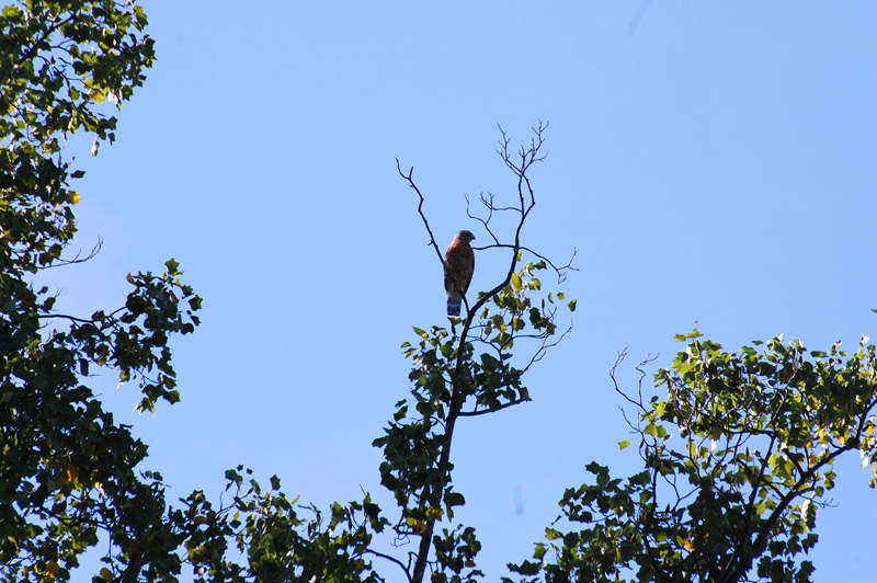 A Red Tailed Hawk from a distance