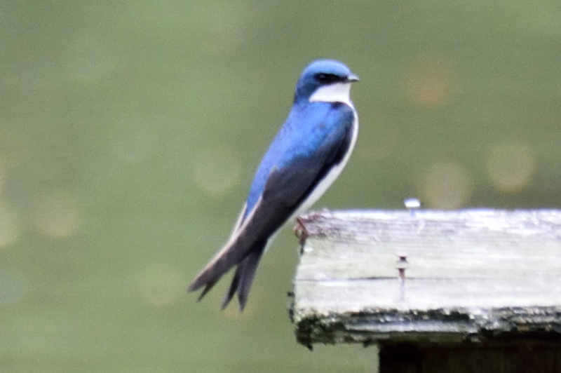Another Tree Swallow sitting on a Wood Duck next box