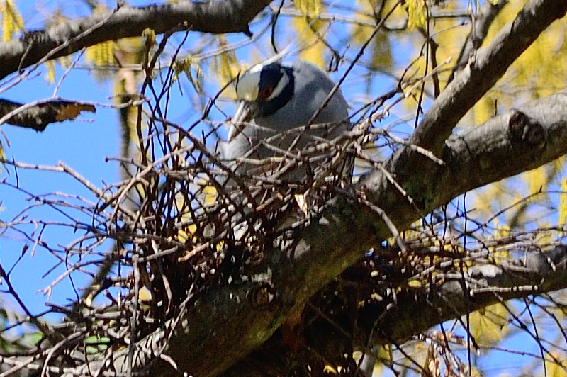 This is the Yellow-crowned Night Heron<br>sitting on the nest